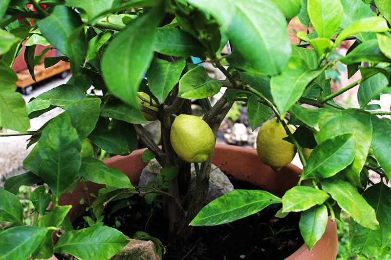 A French Countryside Birthday - Lemon tree